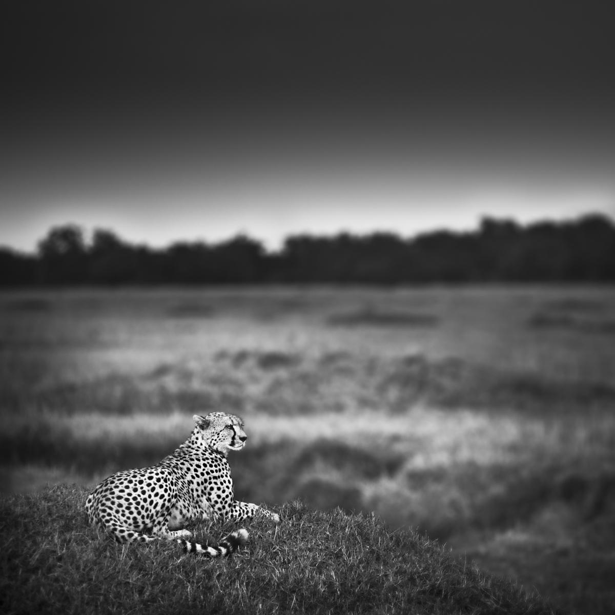Urszula Kozak Cheetah On A Mound