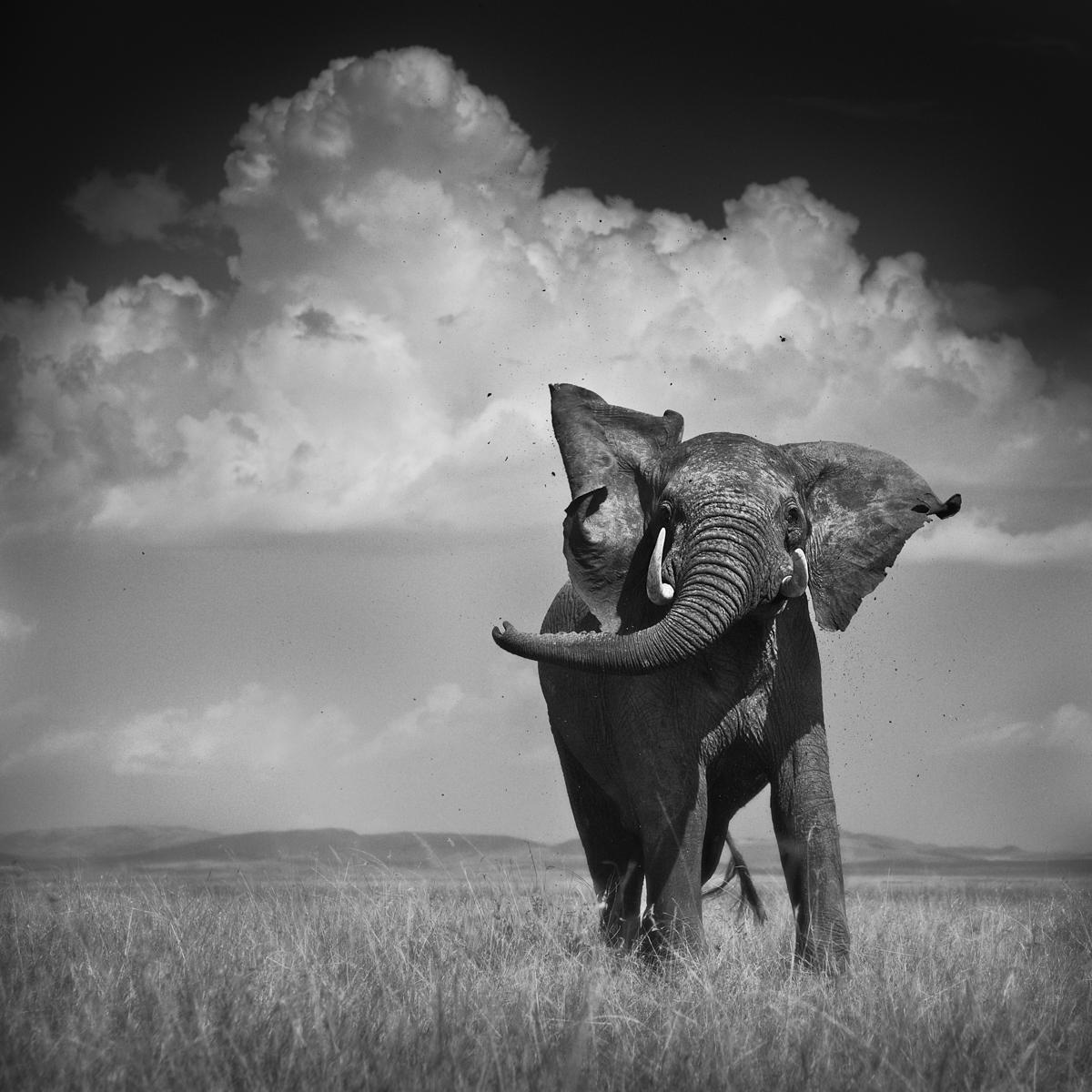 Elephant Throwing Dirt - Maasai Mara, Kenya