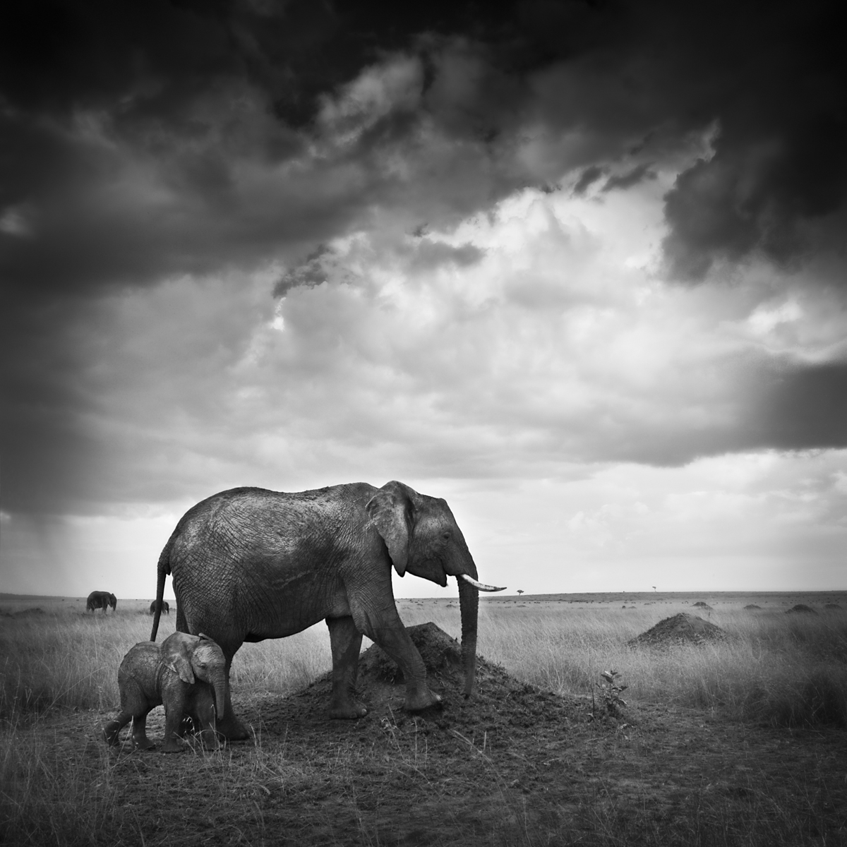 Elephants On Termite Mound - Maasai Mara, Kenya