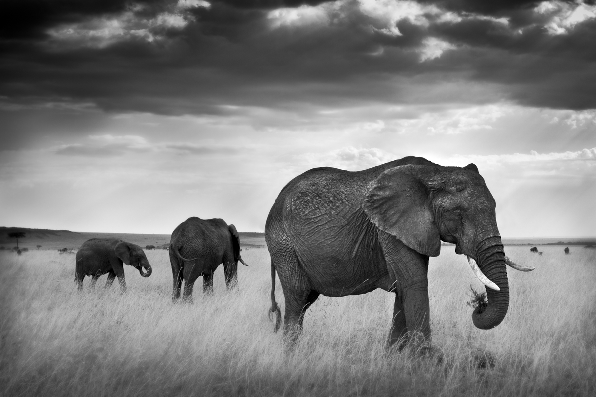 Grazing Elephants - Maasai Mara, Kenya