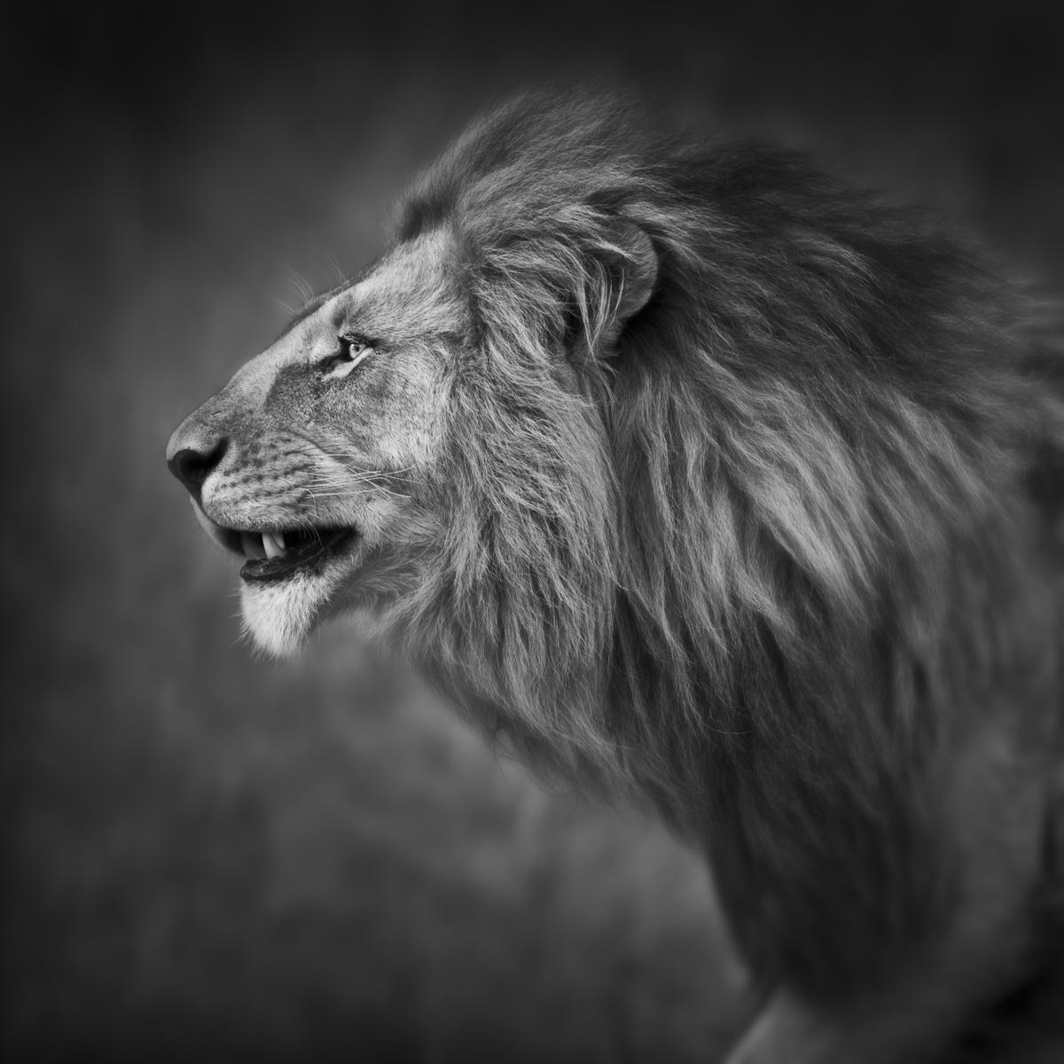 Lion Portrait - Maasai Mara, Kenya