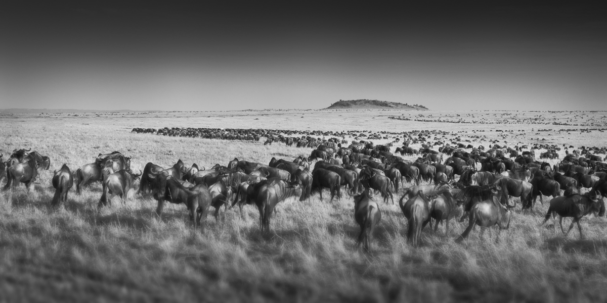 Migration In The Mara - Maasai Mara, Kenya