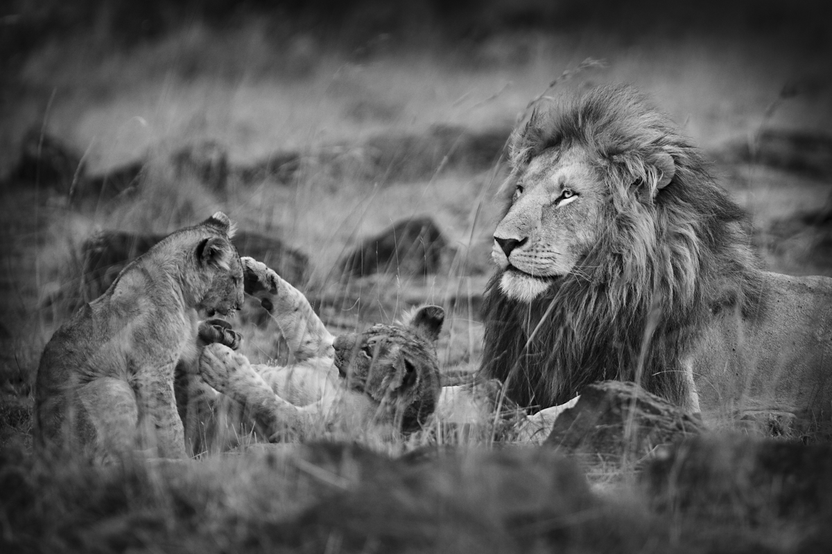 Simba And Cubs - Maasai Mara, Kenya