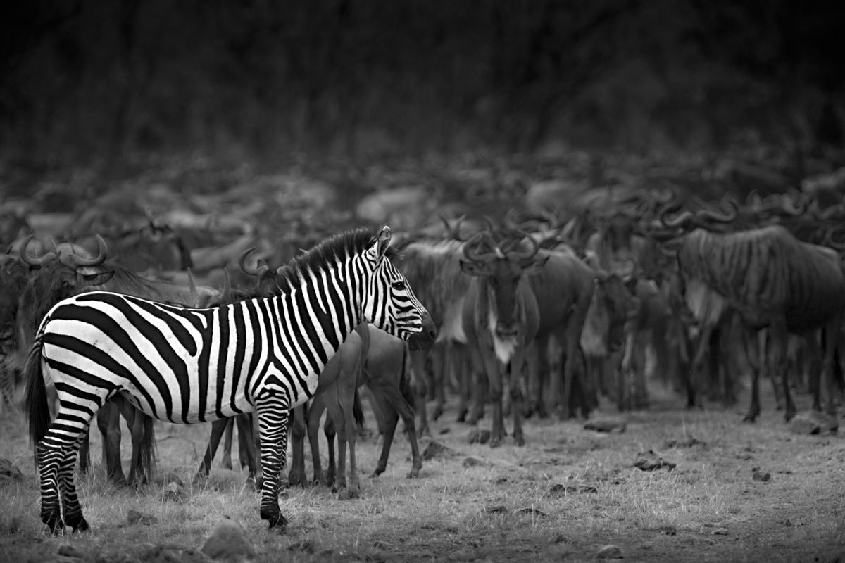 Zebra Against Wildebeest Herd - Maasai Mara, Kenya