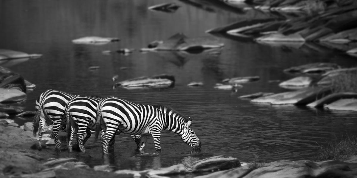 Zebras In River - Maasai Mara, Kenya